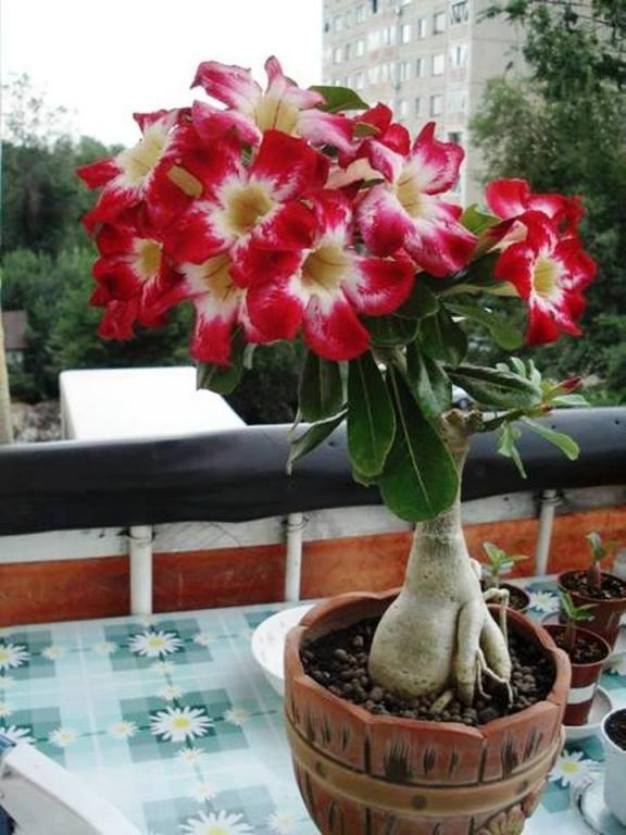 Как выглядит цветок адениум