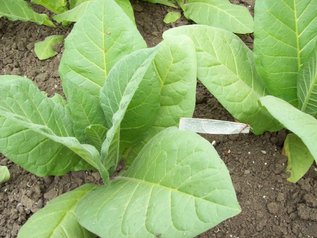 семена табака курительного (несколько сортов в наличии)