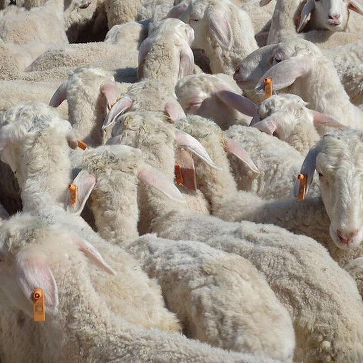 Ушные бирки номерные, теги, метки для коров, овец