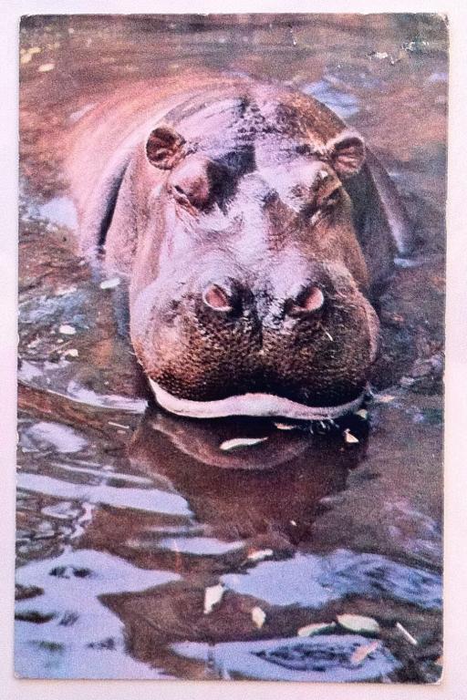 Почтовые открытки бегемот, для открытки поздравления