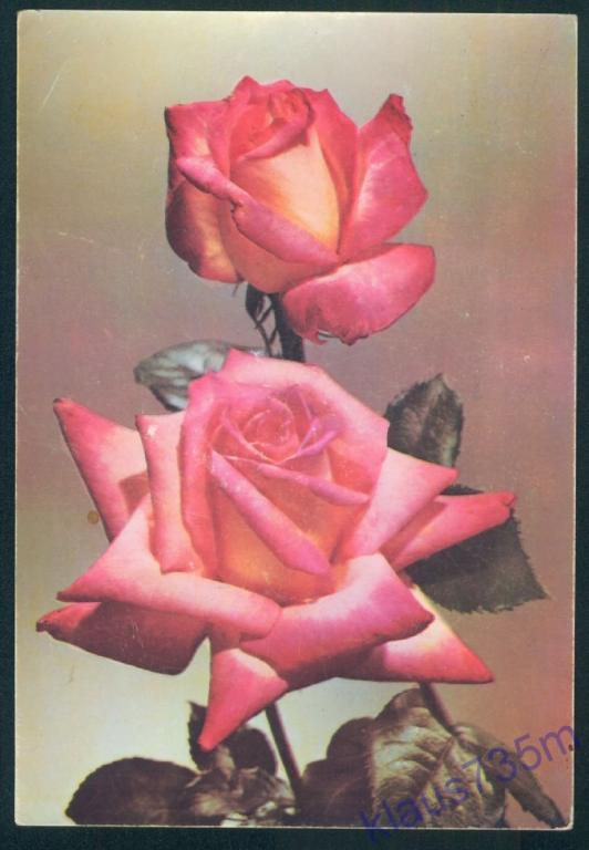 Открытка болгарские розы, приколы