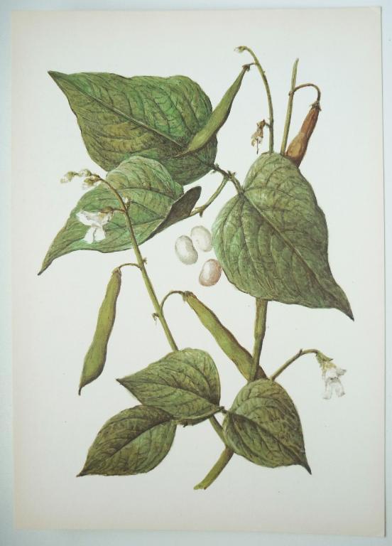 Картинка растения фасоль для детей