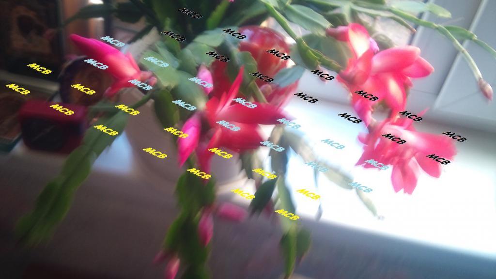 ДЕКАБРИСТ растение на заказ молодое и без горшка или РОЖДЕСТВЕНСКИЙ КАКТУС (ЛОТ ТОЛЬКО ДЛЯ МОСКВЫ МО