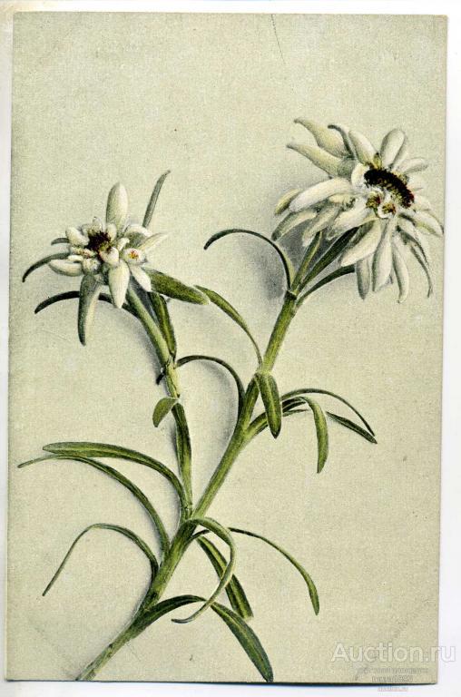 Эдельвейс открытки